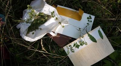 Mehr zu Pratensis Wildpflanzen bestimmen, sammeln & genießen